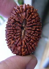 21 mukhi rudraksha