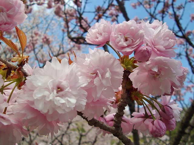 宗堂桜 #6