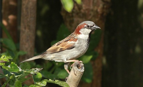 House Sparrow In Afternoon Sun