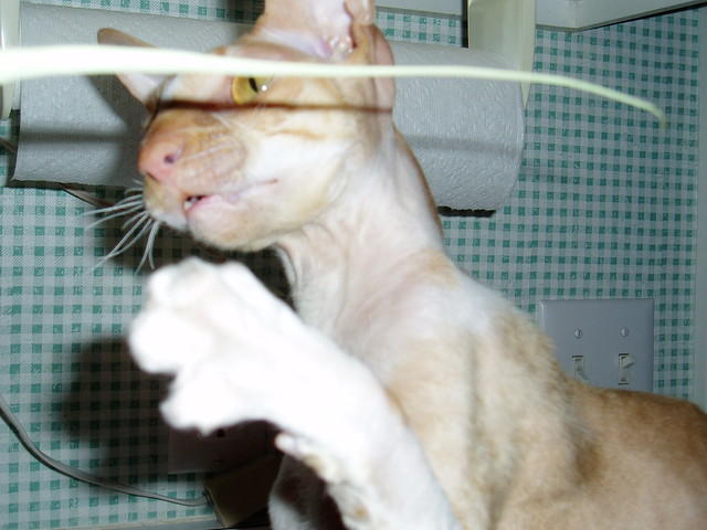 Frodo is a Cornish Rex available for adoption.