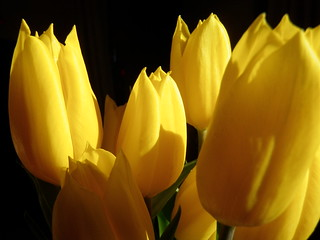Tulips in the light-08