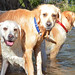 Two labs and a goldie DSC_8507 by Mary Bomford