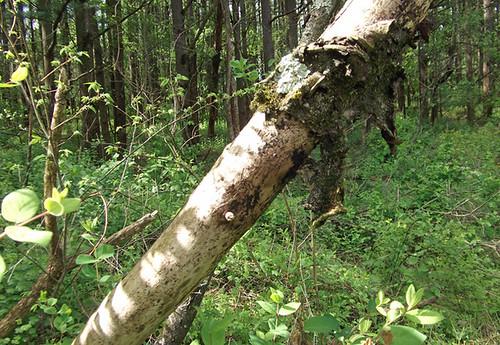 1659 fallen branch