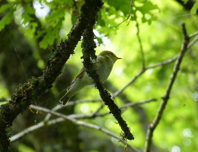 27389 - Wood Warbler, RSPB Dinas