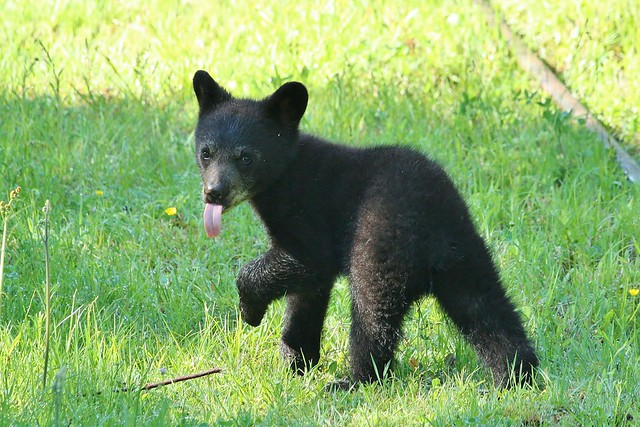 Adorable baby black bear | Flickr - Photo Sharing!