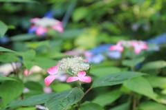 Small hydrangea / 小さなアジサイ