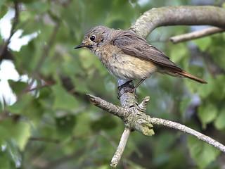 Redstart - Female