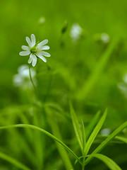 grass(0.0), galium odoratum(0.0), wildflower(0.0), flower(1.0), field(1.0), leaf(1.0), plant(1.0), macro photography(1.0), herb(1.0), flora(1.0), green(1.0), stitchwort(1.0), close-up(1.0), plant stem(1.0), grassland(1.0),