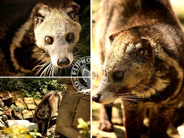 Indian Civet Cat