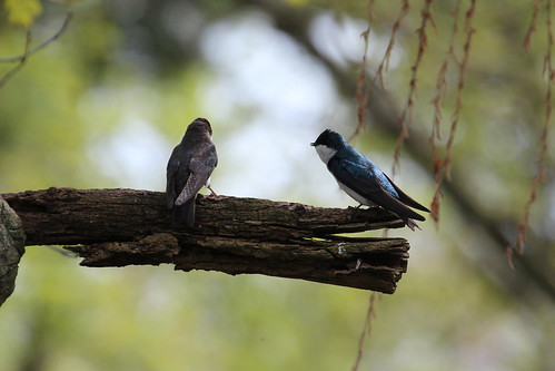 Tree swallows by ricmcarthur