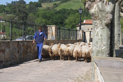 Sheep - Colindres de Arriba