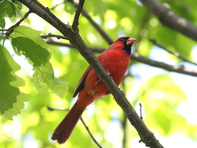Northern Cardinal 20120516
