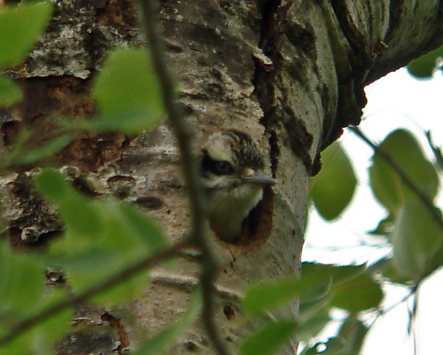 Hairy Woodpecker nesting
