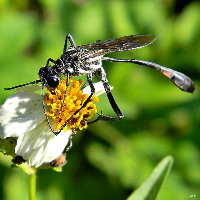 Header of Ammophila procera