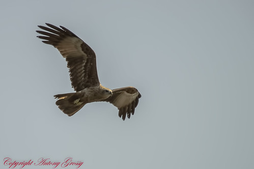 "sea wild kite bird nature birds eagle indian birding talon tropical paws harriers backed eagles such indus claws raptors buzzards ""the ""red ""indian accipitridae "" ""bird india"" haliastur brahminy diurnal ""sea ""tropical life"" ""wild eagle"" prey"" ""birds kite"" birds"" indus"" ""haliastur"
