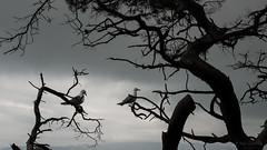 Seagulls - Gibraltar