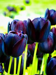 A tiptoe through the tulips
