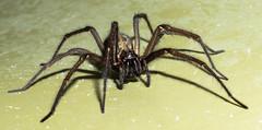 arthropod(1.0), animal(1.0), spider(1.0), araneus(1.0), invertebrate(1.0), macro photography(1.0), european garden spider(1.0), fauna(1.0), close-up(1.0), wolf spider(1.0),