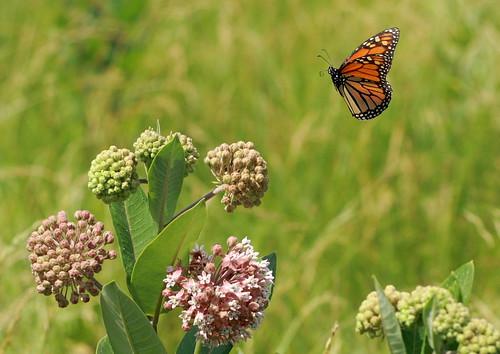 butterfly illinois meadow monarch incoming milkweed godfrey danaus plexippus