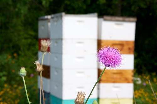 Thistle in front of hives