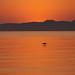pelicano solo by Stewart