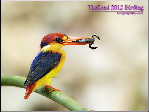 Black-backed Kingfisher 三趾翠
