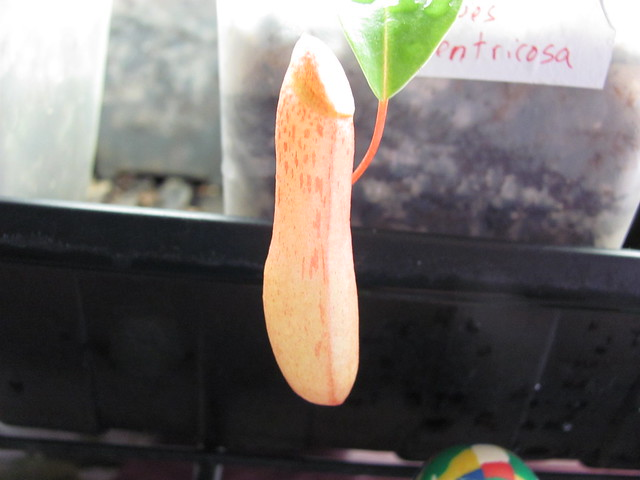 Lowes ventricosa closed pitcher