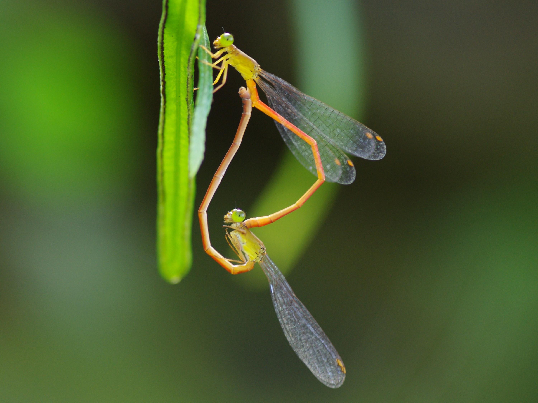 公、母豆娘交尾時,身體會相連結成愛心狀。圖為交尾中的紅腹細蟌。