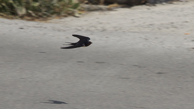 low flying swallow