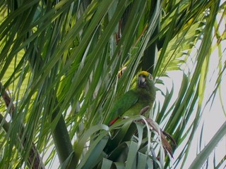Loro Real, Yellow-Crowned Parrot, Amazona ochrocephala