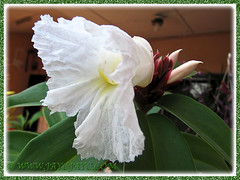 Cheilocostus speciosus (Crepe Ginger or Spiral Ginger) flowering for the first time, 9 March 2014