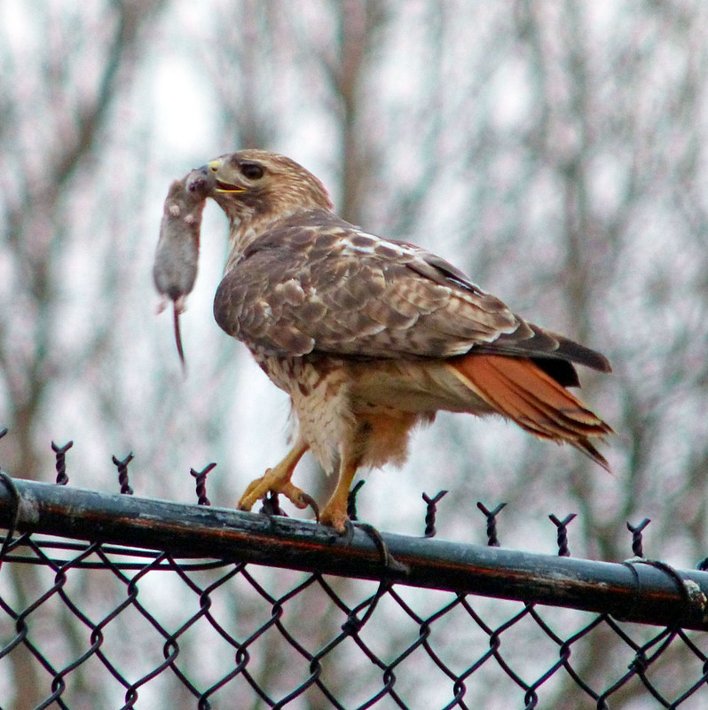 Male red tail with mouse in Tompkins Square