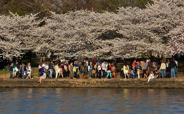 Tourists enjoying the Cherry Blossoms around the Tidal Basin in Washington DC
