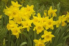 Keltainen Narsissi