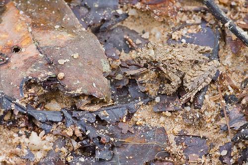 Blyth's River Frog ...IMG_0619 copy