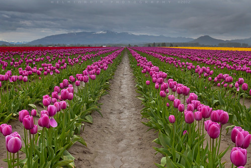 Tulips festival,Washington State