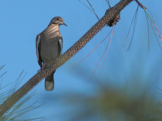 White-winged Dove 20120318