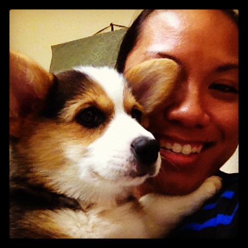 My baby bear is home. This little ball of love is Hoku. #corgi