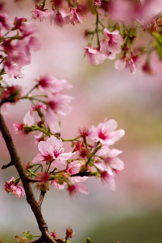桜色.舞うころ