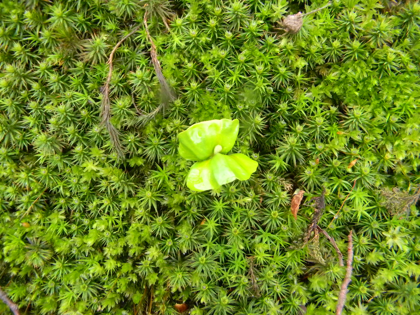 Seedling in moss Guildford to Westhumble