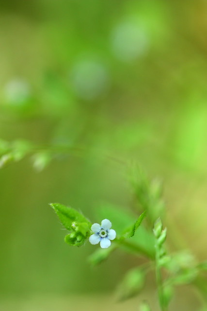 Bothriospermum tenellum ハナイバナ