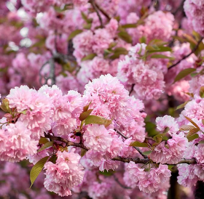 Pink-Dogwood