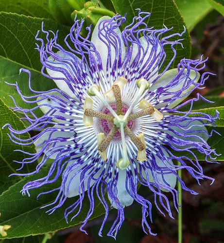 florida passionflower debary geminispringspark springtospringtrail