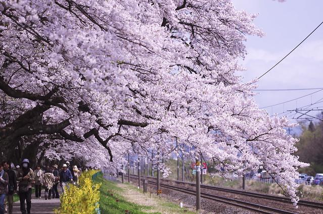 花咲く線路沿いに