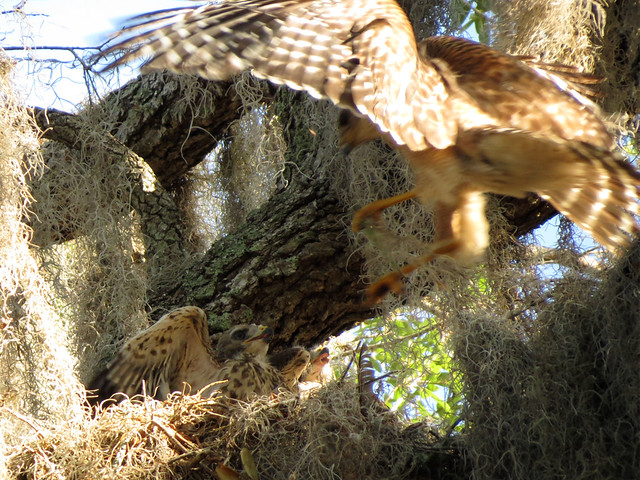 Red-shouldered Hawk food delivery