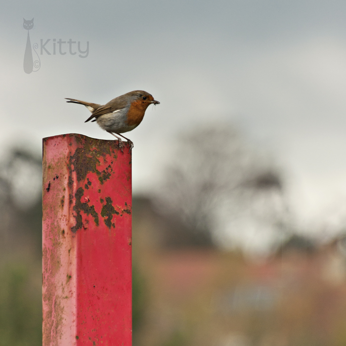 Robin Red-Post