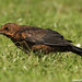 Young Blackbird - Learning to catch the worm
