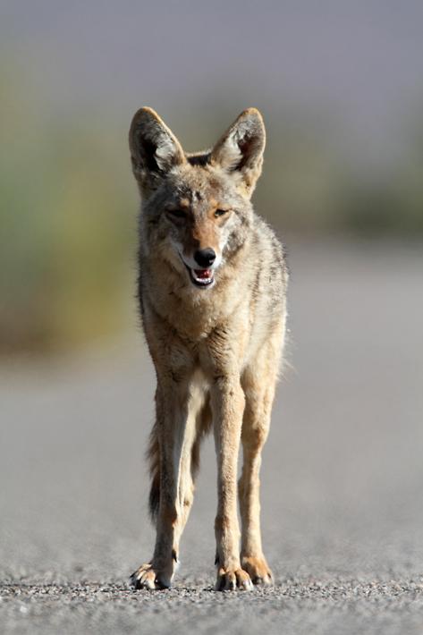 050212_26_joshua_coyote