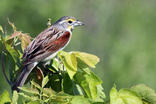Phriday Photo – More Dickcissels