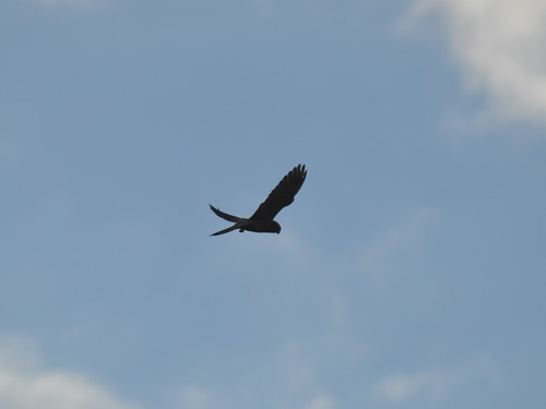 Bird of prey over Richmond Park